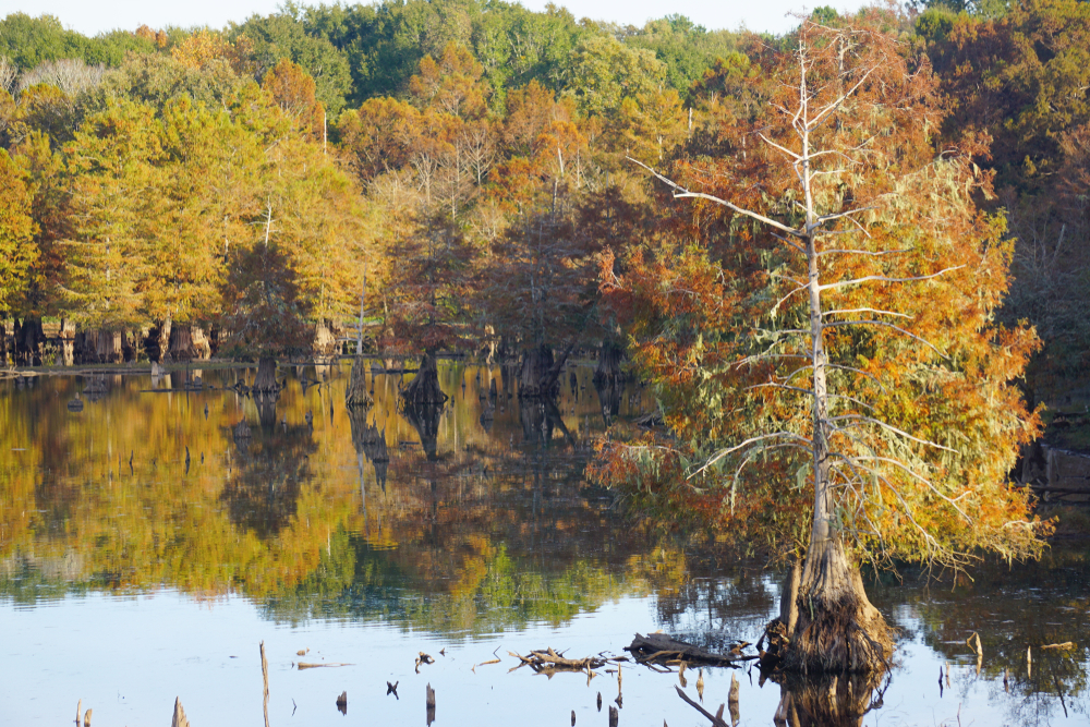 Photo of trees with golden leaves growing out of the Toledo Bend Reservoir during fall in the south.