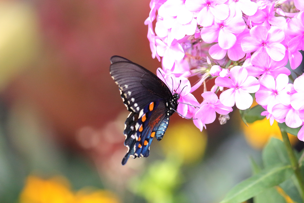 A picture of a black butterfly with orange and white spots sitting on top of purple flowers.