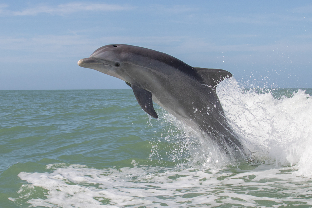 Spotting dolphins is one of the most fun things to do in Orange Beach, Alabama.