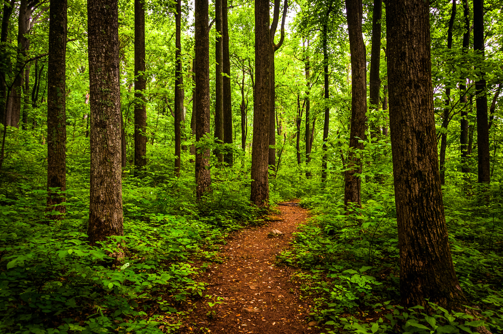 A photo of a trail winding through the greenery of a forested area in Shenandoah National Park.