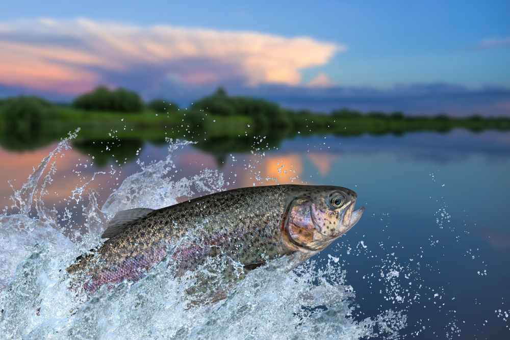 Rainbow trout jumping out of a lake with a big splash.