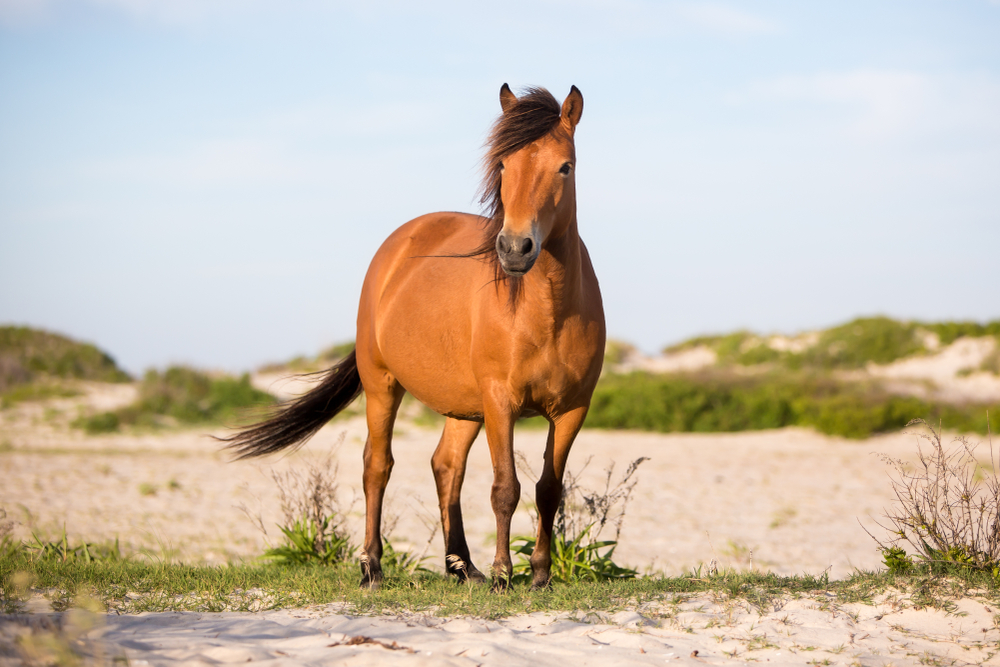 A wild horse that is tan with a dark brown mane and tail. The horse is standing on a sandy beach with some grassy patches in it. The sky is clear blue with no clouds. It is one of the best Virginia day trips.