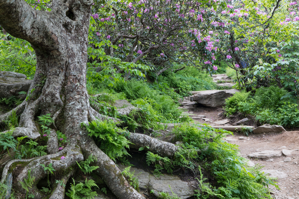 The Craggy Gardens in the Blue Ridge Mountains. There is a dirt path with rocks sticking up in it. You can see a old birch tree with pink flowers on it, lush ferns on the ground, and a few other trees. It is one of the best Asheville hiking trails.