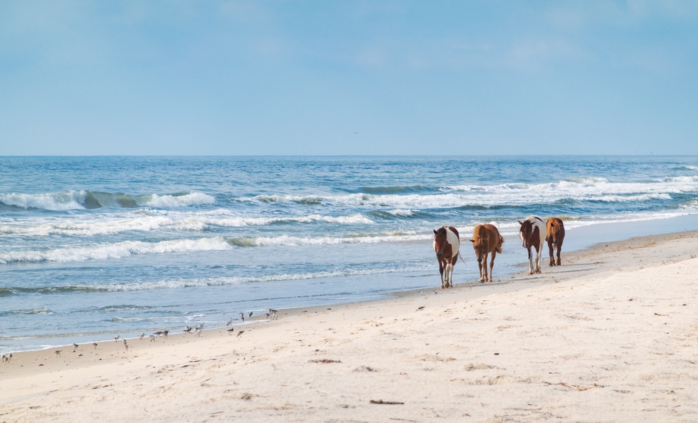 Four horses walking down the beach with waves at Assateague Island one of the best national parks in virginia