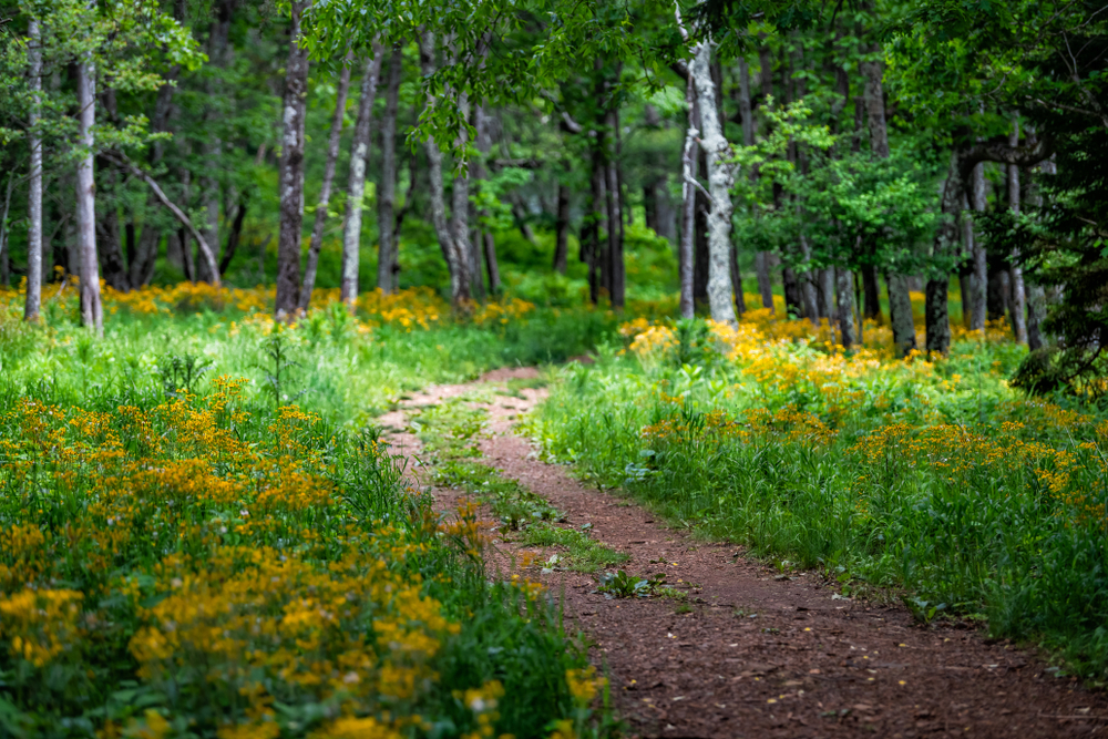 Path leading through a forest with yellow flowers at Blue Ridge Park one of the best national parks in virginia.