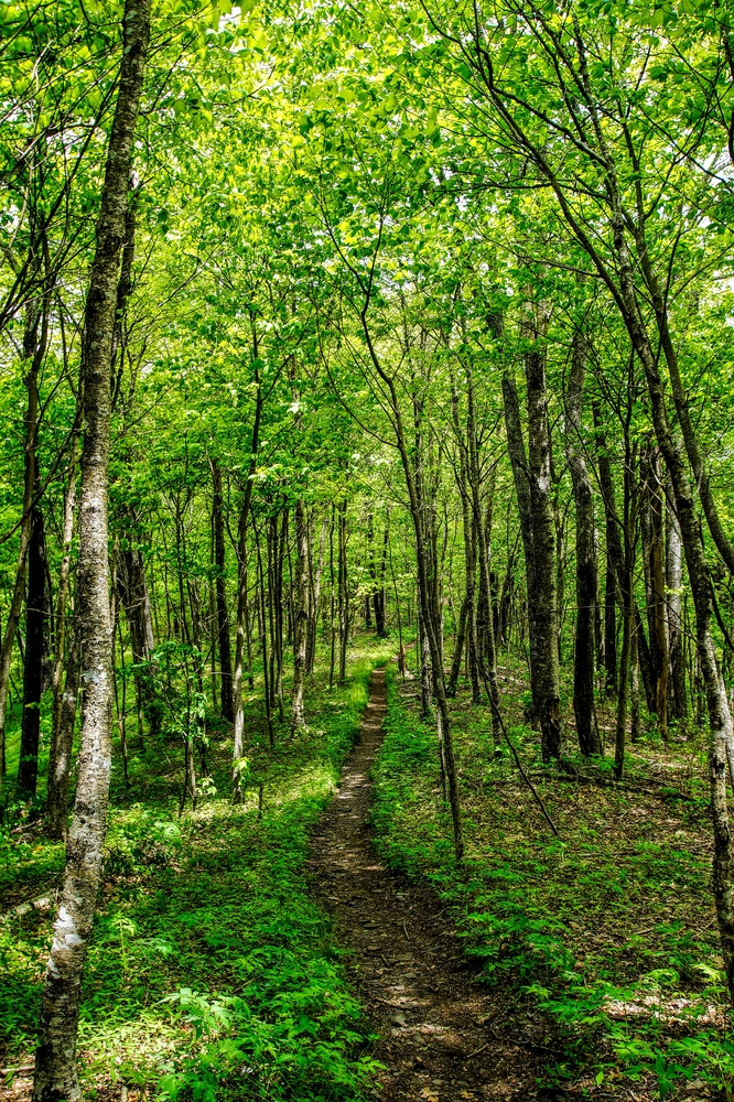 A narrow dirt path in the middle of a dense forest. All around the path there are trees with green leaves, tall grass, ferns, and other greenery.