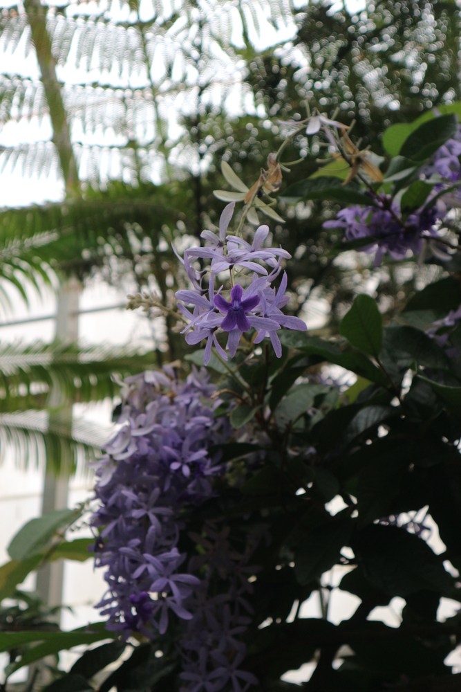 Purple flowers inside the conservatory at the Biltmore Estate. You can see other tropical plants behind it.