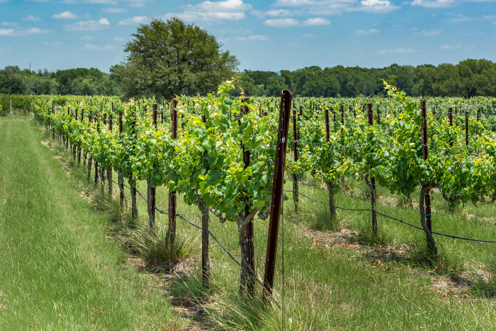 Visiting vineyards is one of the most fun things to do in Canyon Lake.