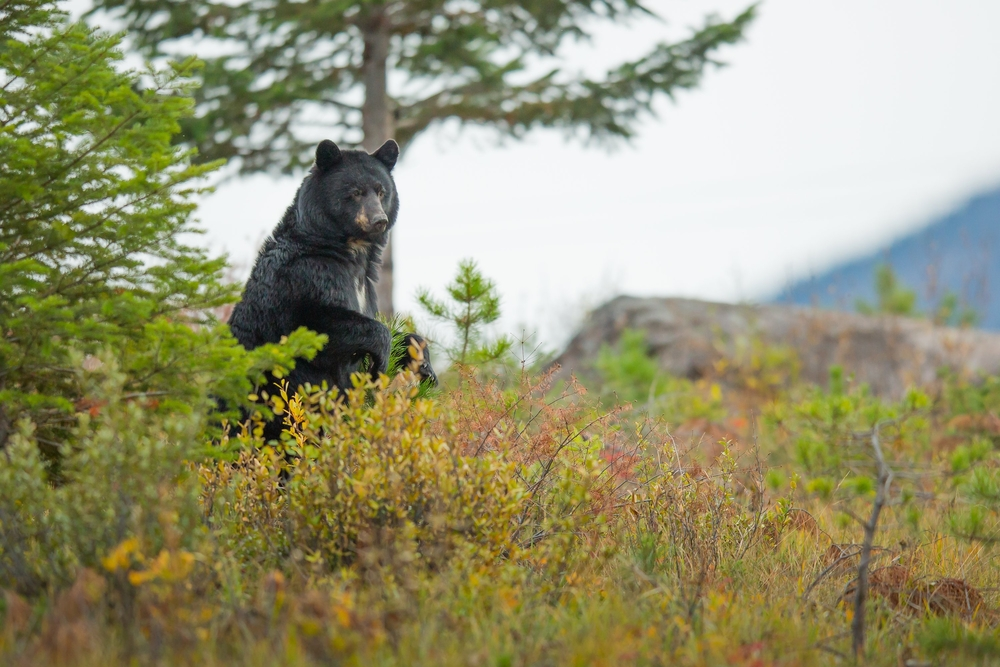 A black bear standing in a field in the Smoky Mountains.