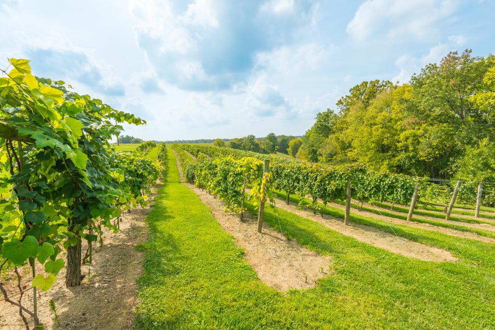 rows of grape vines in a vineyard