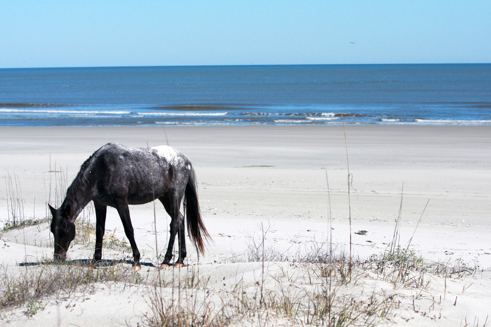 A wild horse grazing along a beach on Cumberland Island, where you can find some of the best beaches in Georgia.