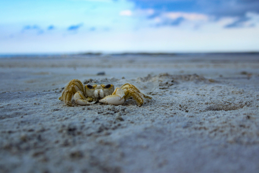 A crab crosses the sand of a beach on Sapelo Island, which has some of the more secluded beaches in Georgia.