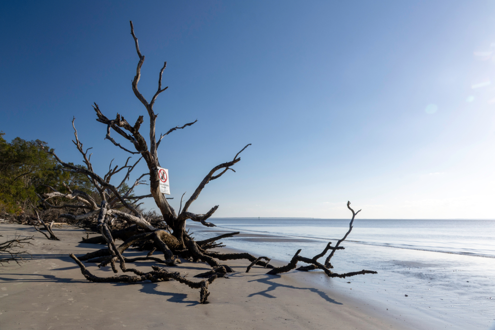 A driftwood tree lying on the sand at St Andrews Beach, of the best beaches in Georgia.